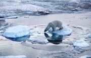 Polar bear on pack ice, Arctic circle ©WWF/J S Grove