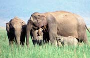 Asian elephants © WWF-Canon / A. Christy WILLIAMS