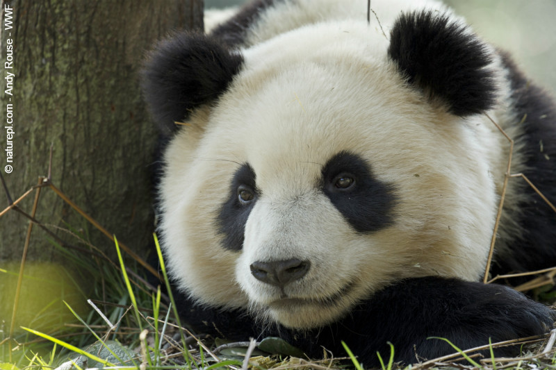 Giant Success For Giant Pandas Wwf
