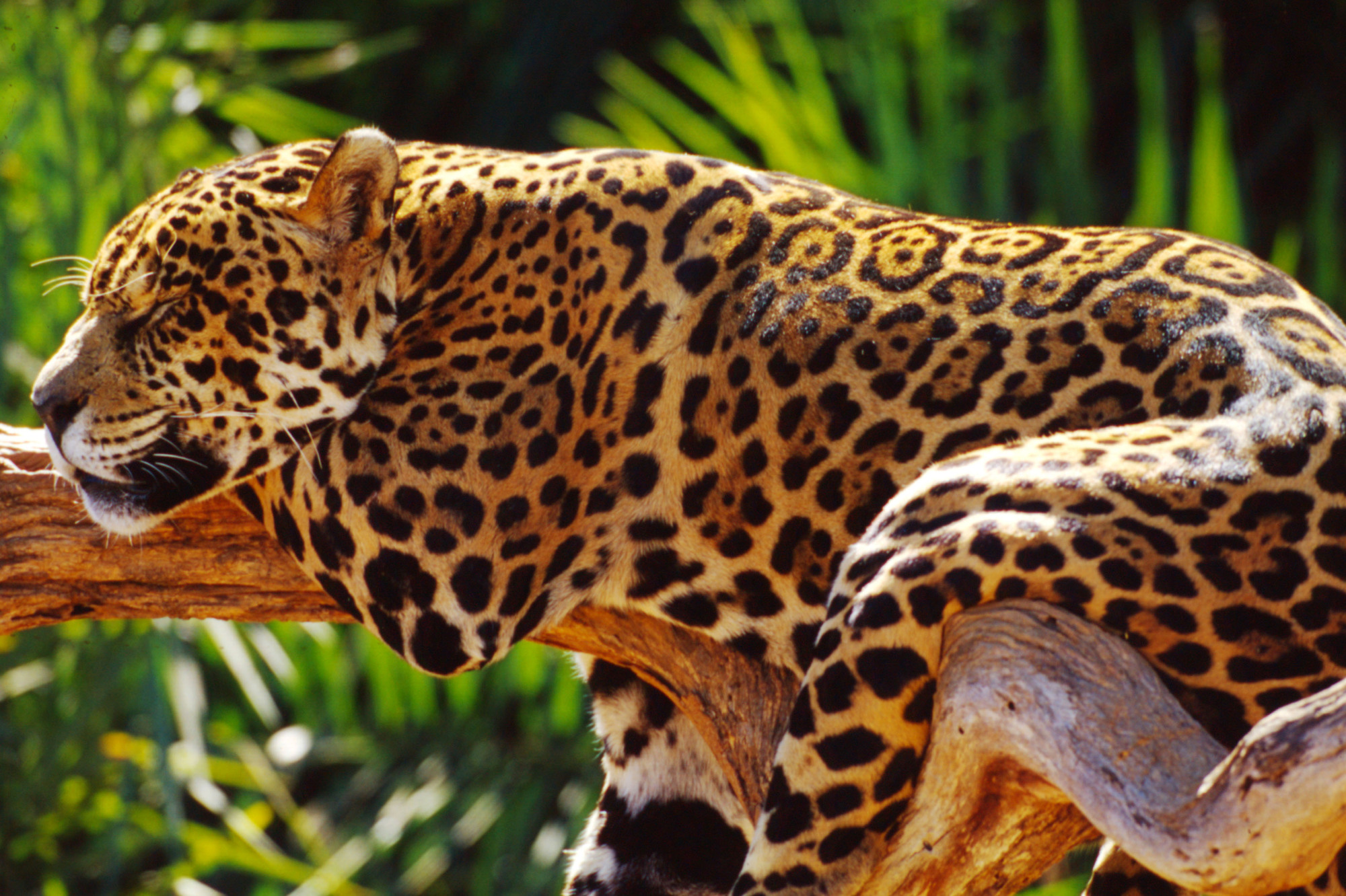 Jaguar sleeping on a branch