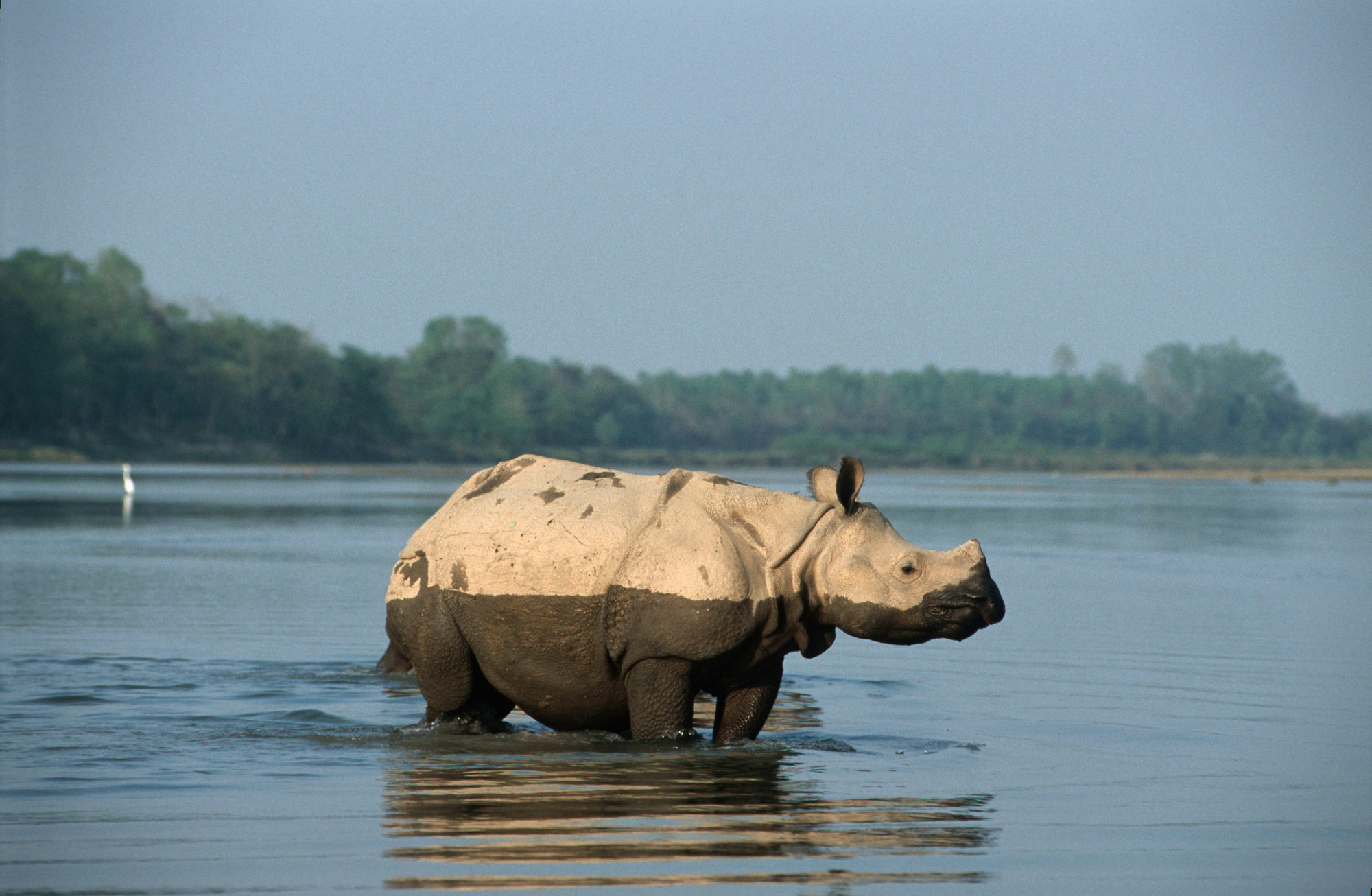 Indian rhino having a wash in a river