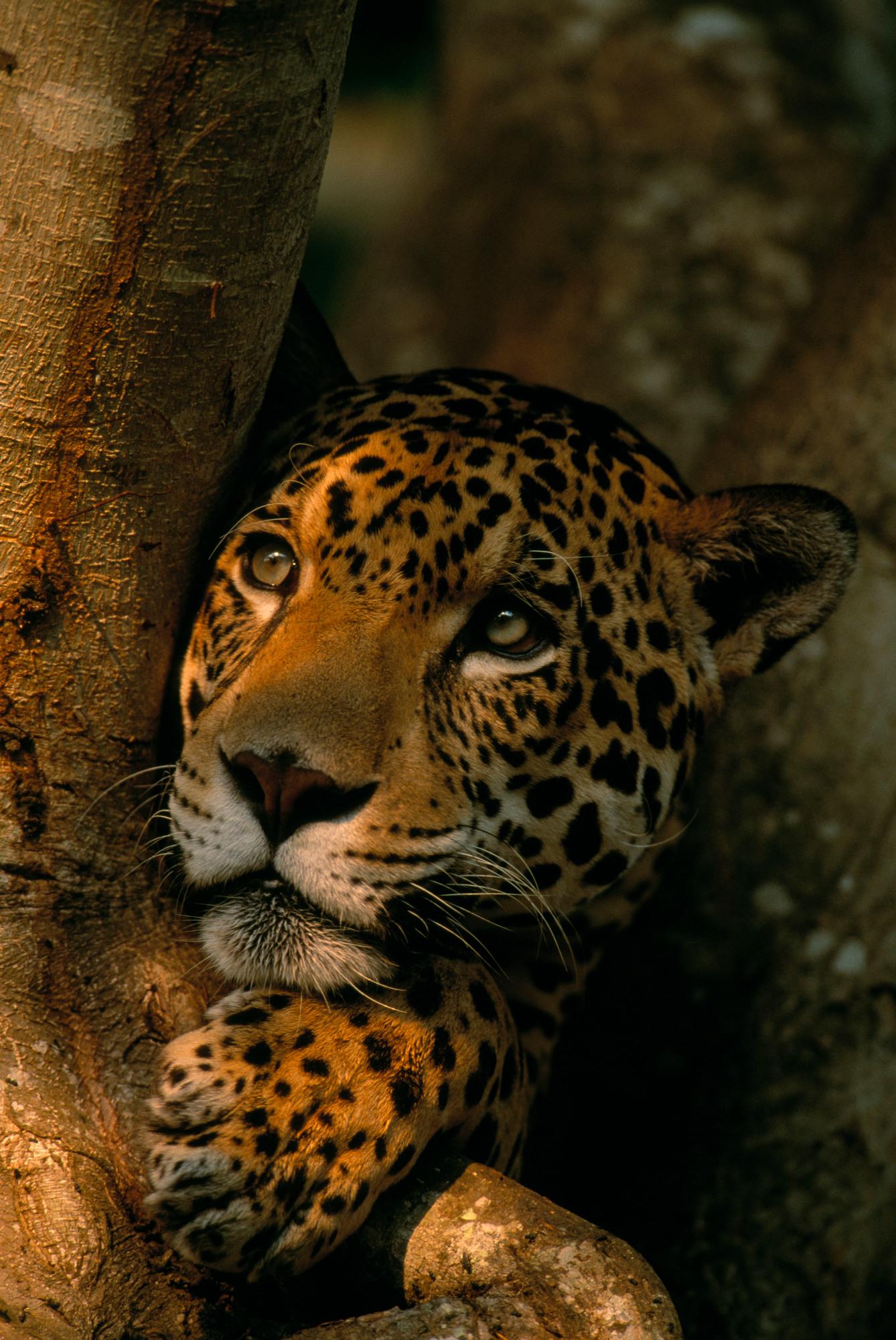 Jaguars Wwf
