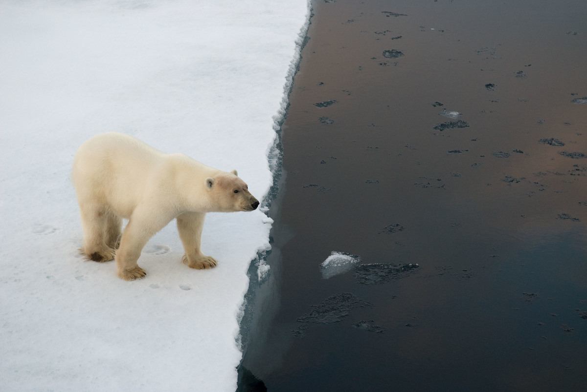 Polar bear on edge of an ice flow, Spitsbergen