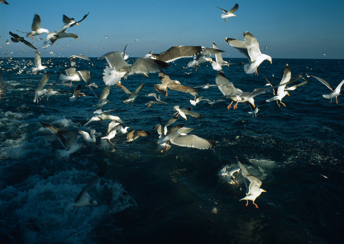 Deep sea fishing, seabirds in the wake of a deep sea trawler. Some of them feed on the discarded fish which are kicked overboard.