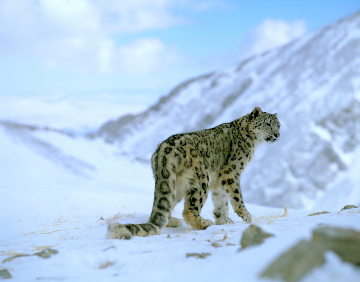 snow leopards wwf