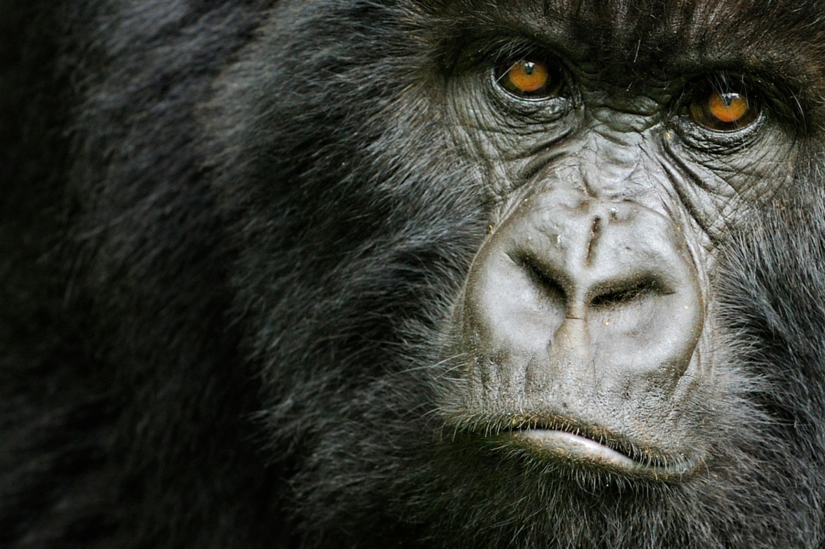 Mountain gorilla (Gorilla beringei beringei) young female, portrait, Volcanoes NP, Virunga mountains, Rwanda