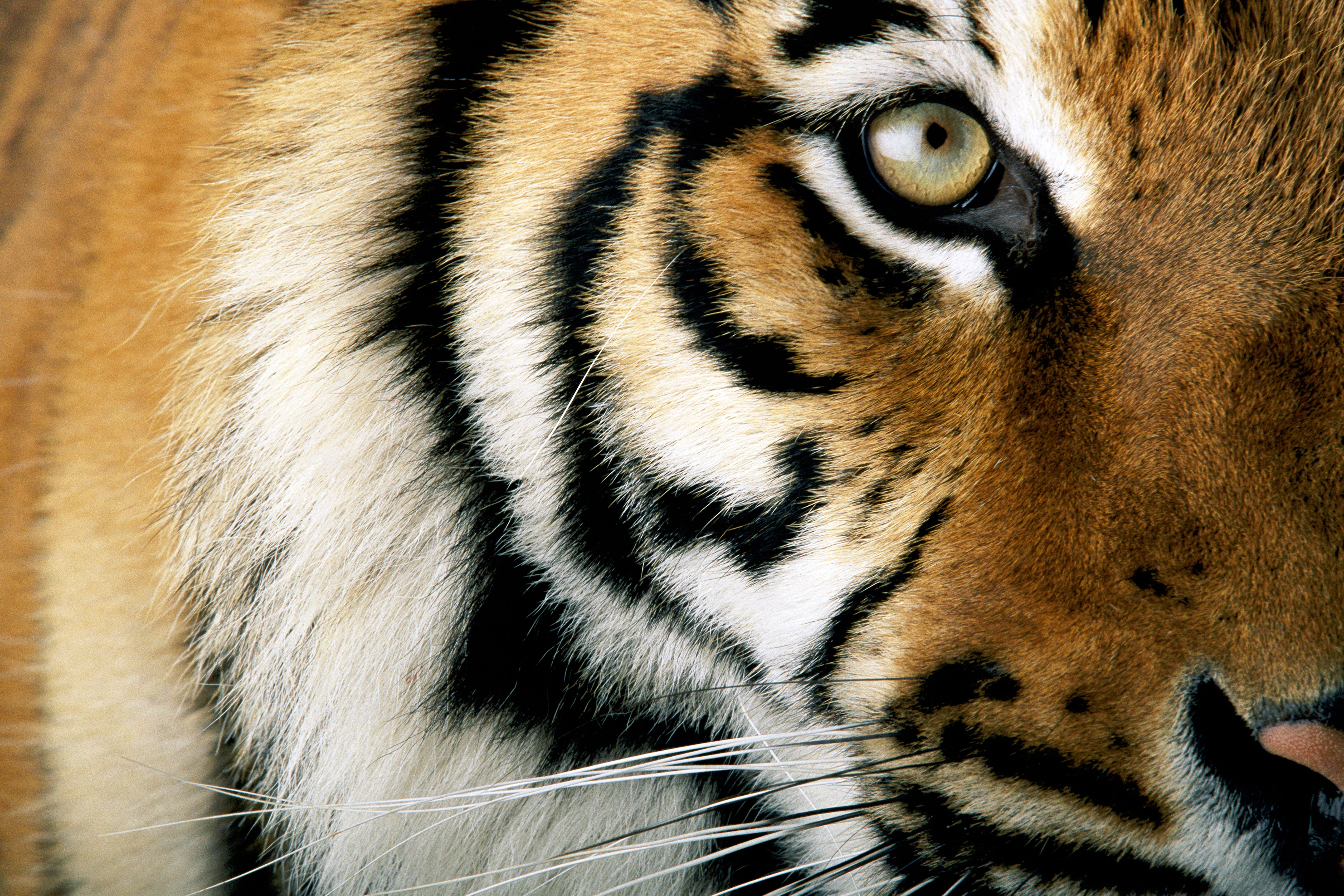 Close up of a tiger  © National Geographic Stock / Michael Nichols / WWF