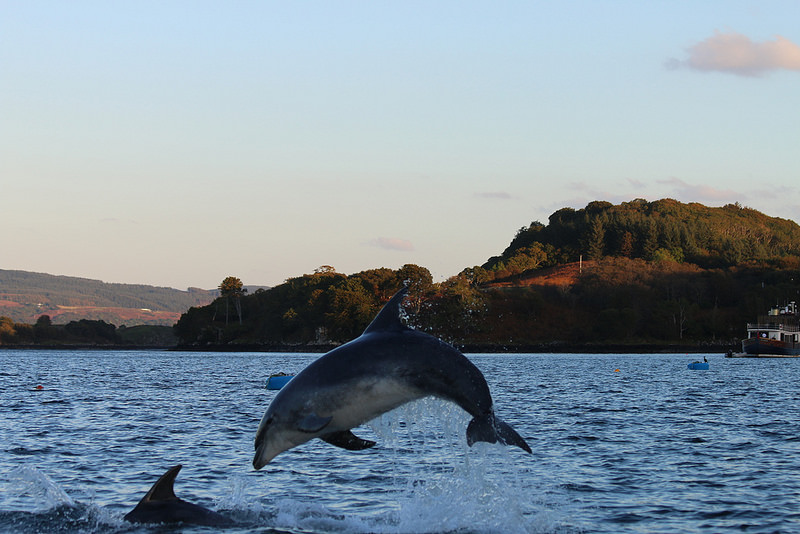 Dolphin jumping in the waters of Tobermory