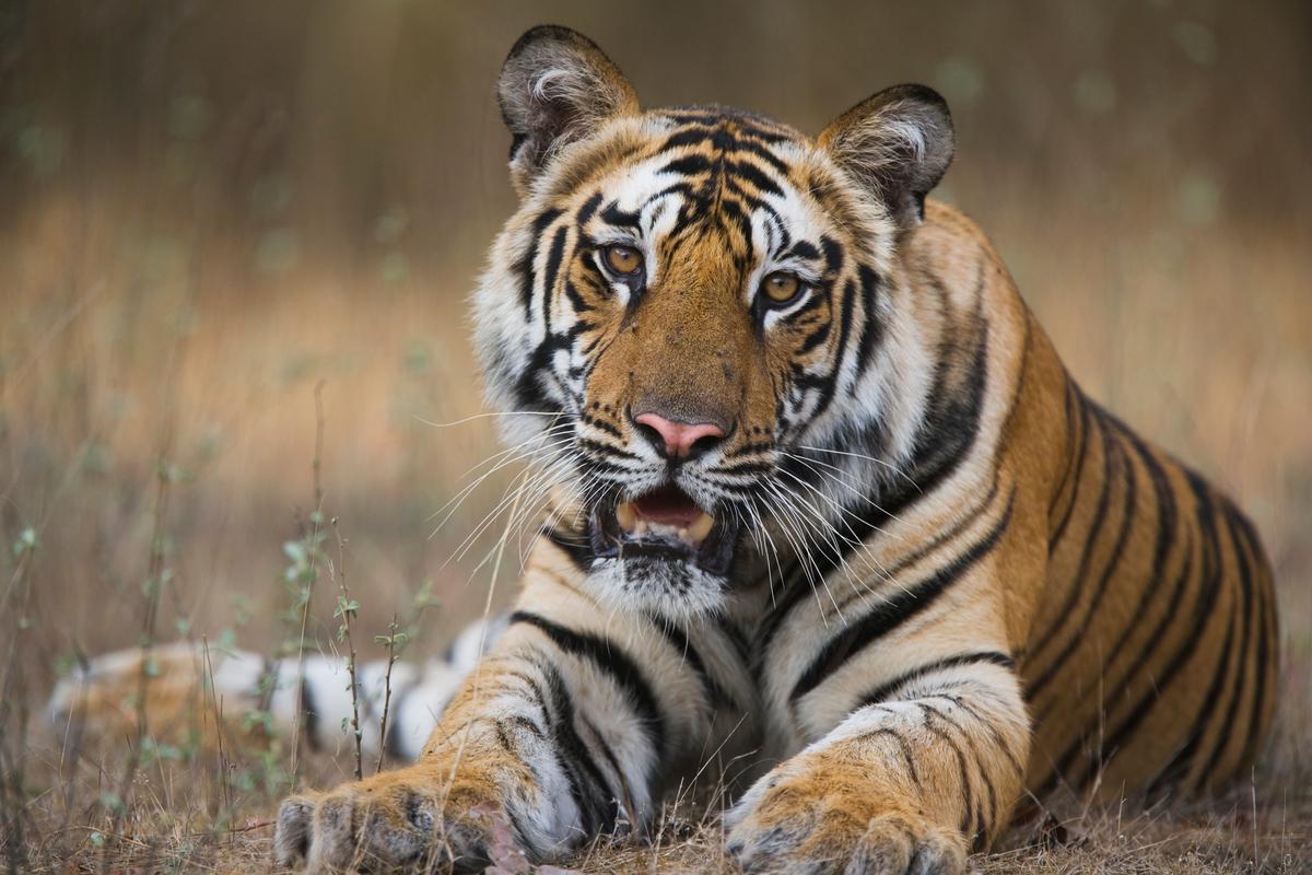 tiger - photo #10