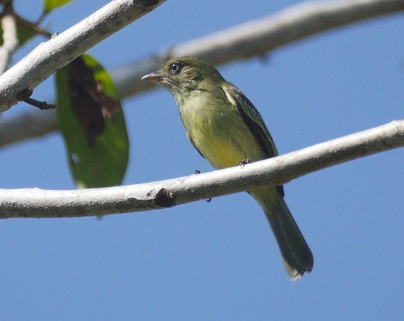 Chico's Tyrannulet bird