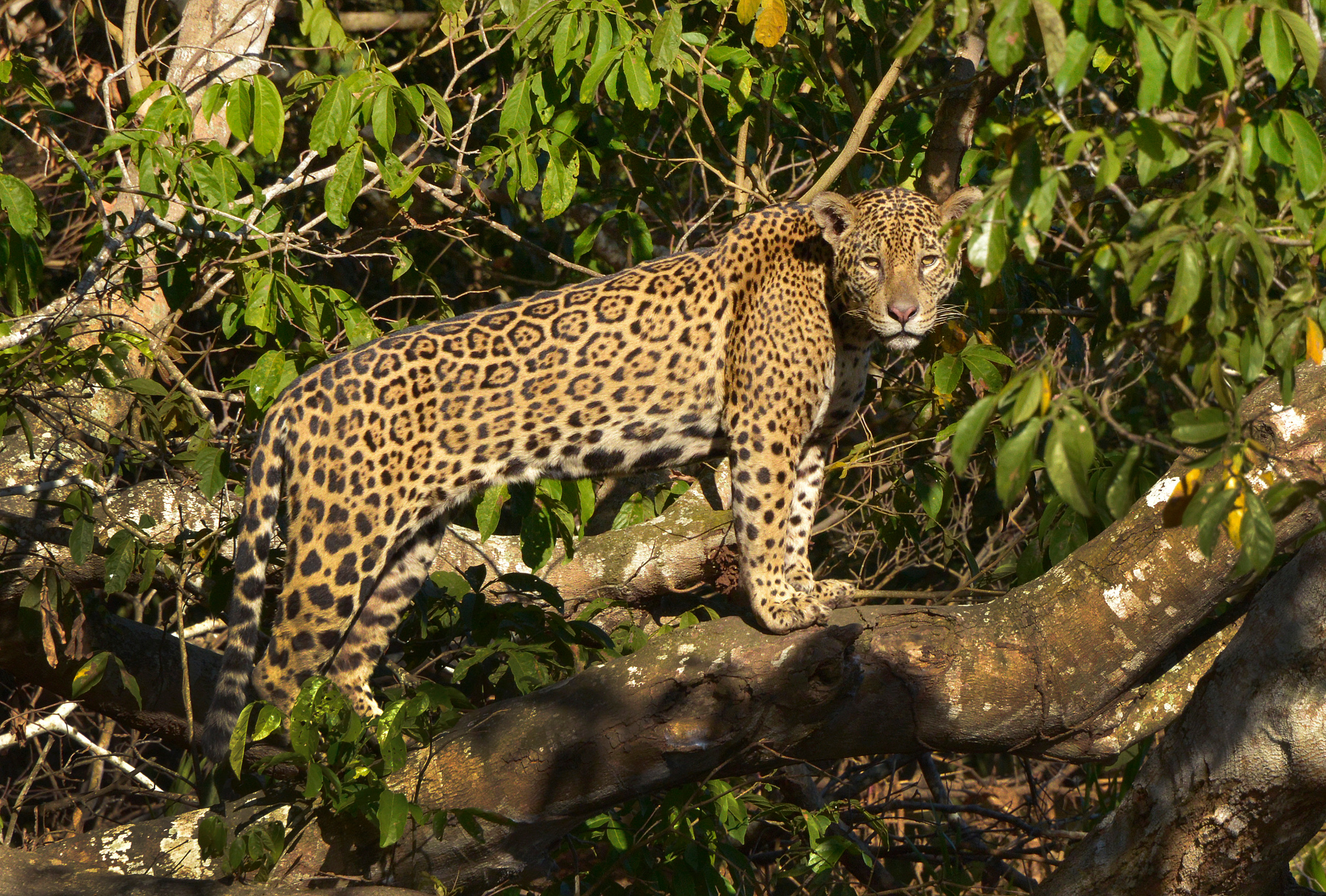 an introduction to the wild cat species jaguars Most cat species share a genetic anomaly that prevents them from (african wild cat) felis only lions, leopards, tigers, and jaguars are truly able to.