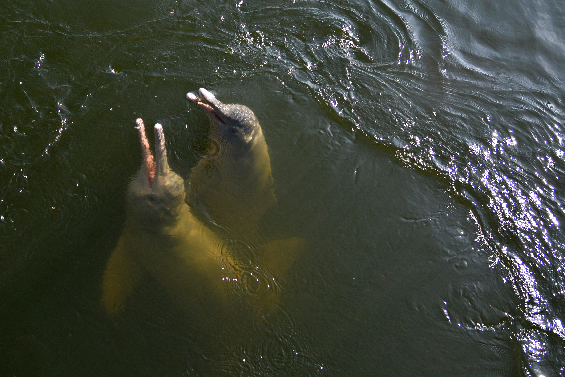 The Amzon River Dolphin
