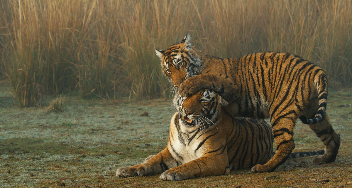 Two large tiger cubs playing