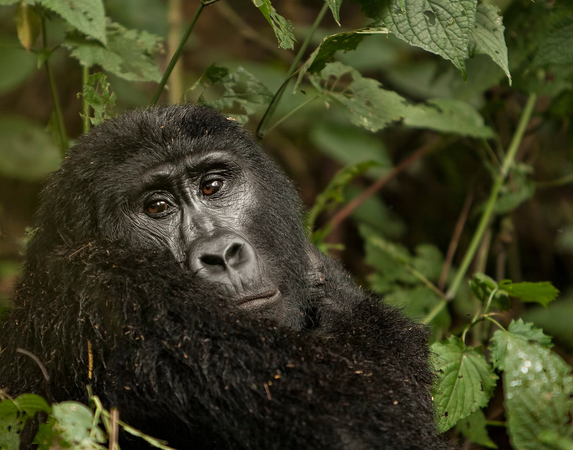 A Mountain gorilla looking straight at the camera