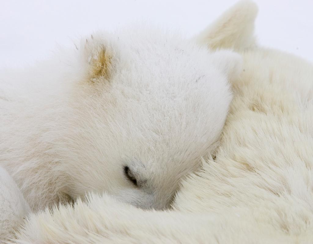 Polar Bear (Ursus maritimus) cub curled up on mother, Wapusk National Park, Manitoba, Canada