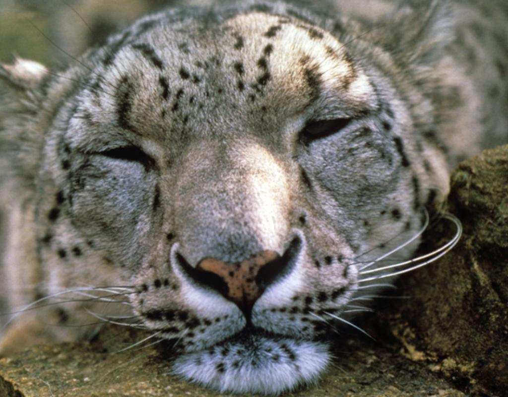 This snow leopard is caught snoozing on camera