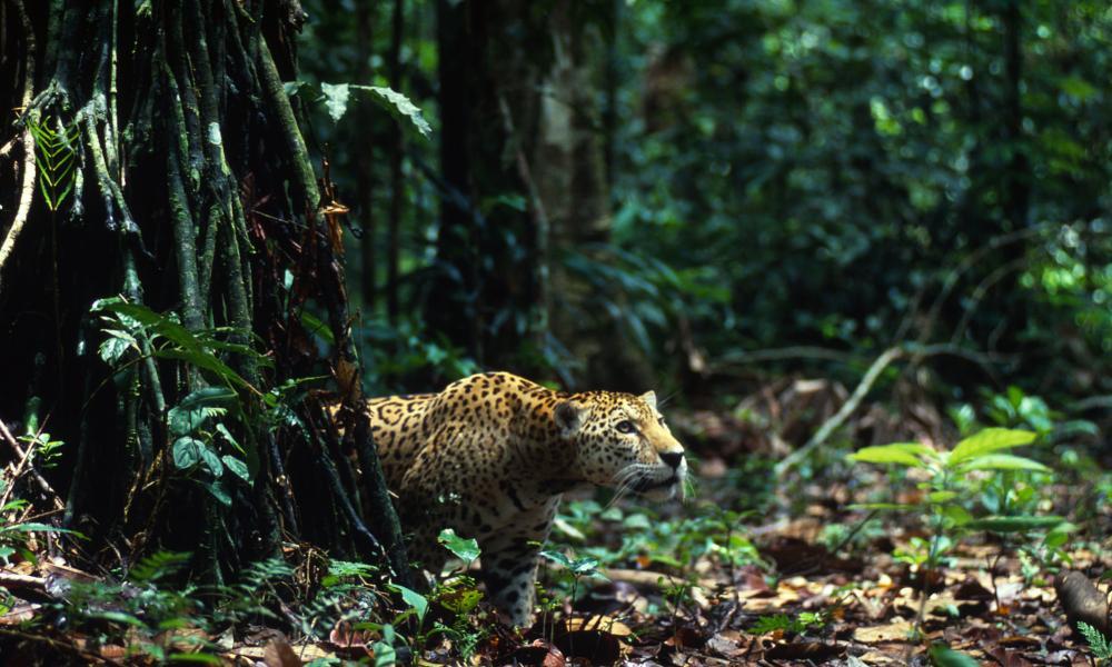 Jaguars | WWF
