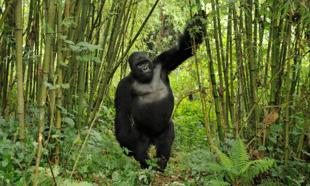 afrikanza-virunga-monkeys