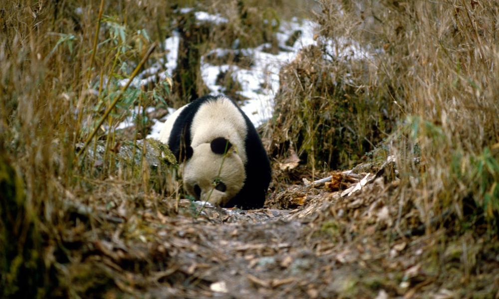 Giant pandas | WWF