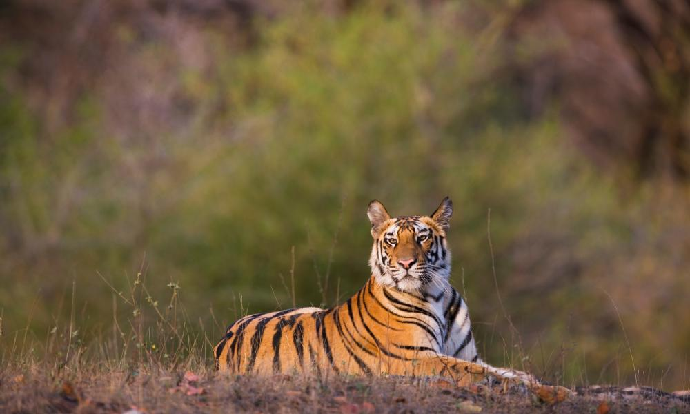 tiger resources in india Resources tigers are culturally important to people across the globe – and, as  a top predator, essential to the proper functioning of their entire ecosystem  in  india alone - the last great refuge for tigers - there are only around 1,400 left.