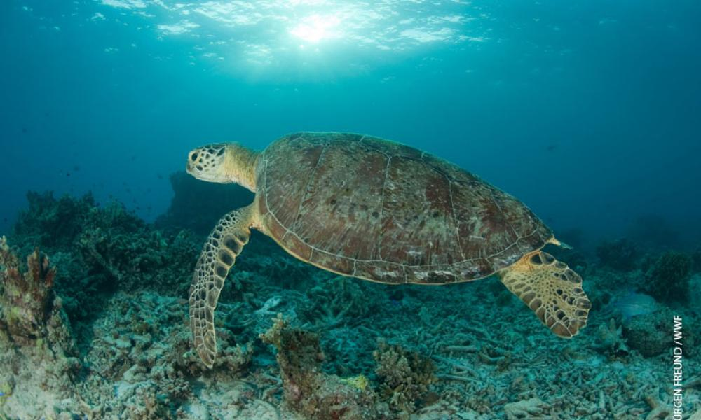 world sea turtle day wwf