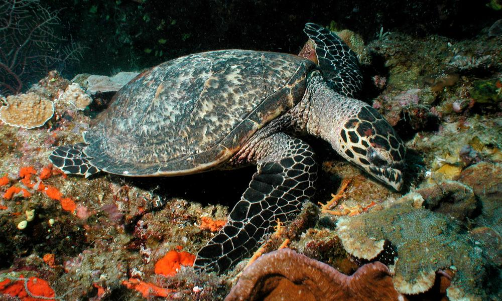 Eretmochelys imbricata, Hawksbill turtles live on coral reefs where their favourite food, sponges, are most plentiful. Fiji