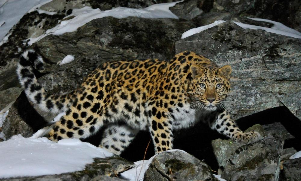 Wild female Amur leopard on a rocky hillside