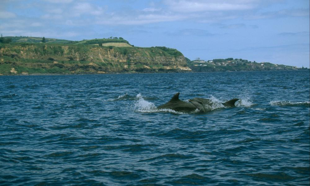 Bottle-nosed dolphin (Tursiops truncatus); Azores, Portugal