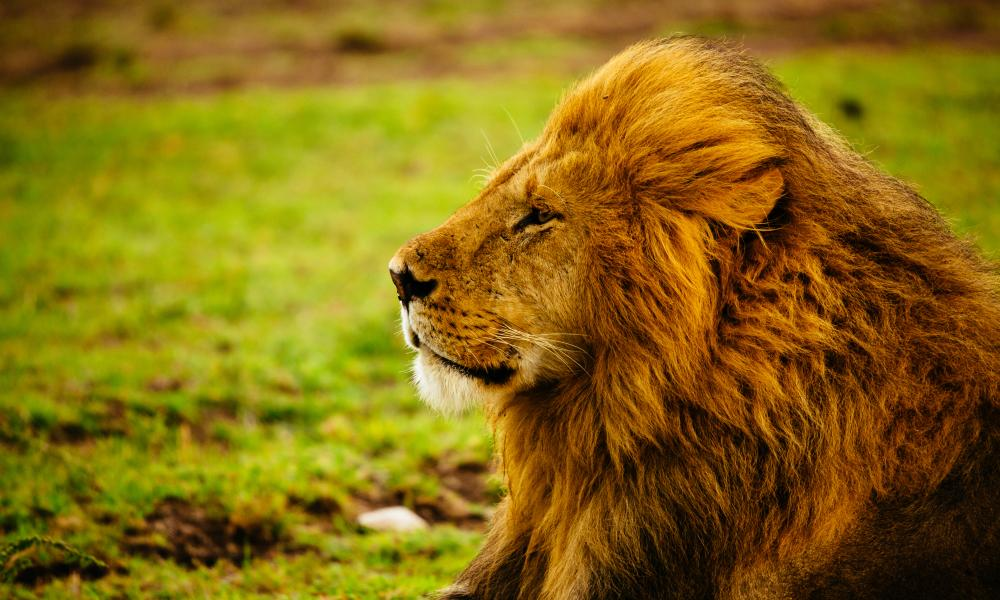 A male adult lion laying down in the grass while it rains.