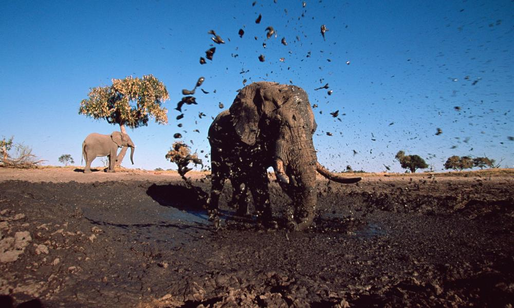 African elephant bull spraying mud at camera