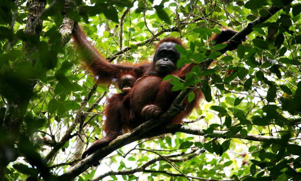 Bornean orangutan (Pongo pygmeus pygmeus) and her baby in Betung Kerihun and Danau Sentarum national parks' corridor in West Kalimantan, Indonesia.