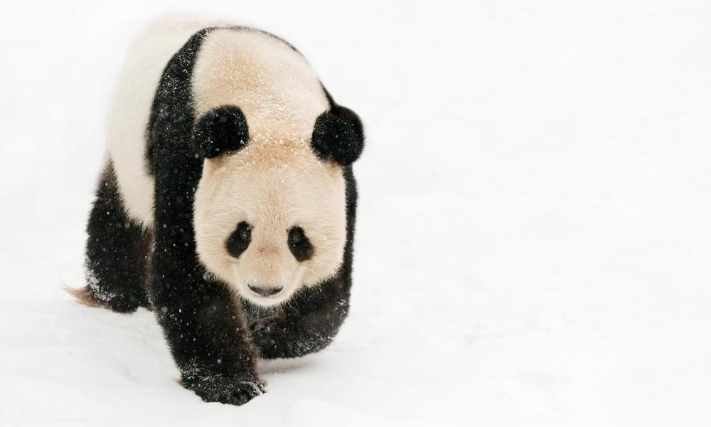 Female giant panda in the snow