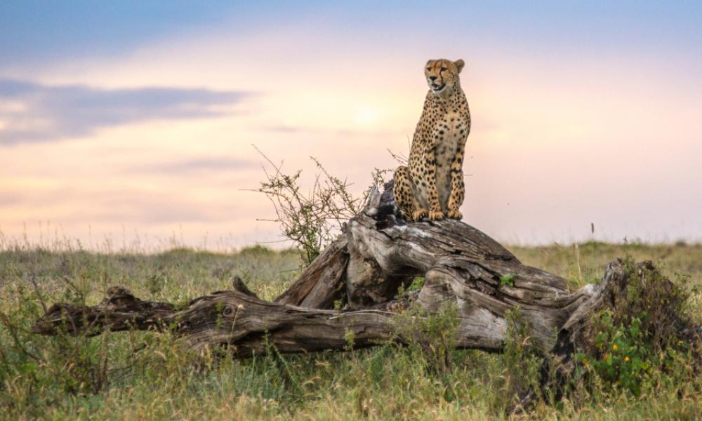 Cheetah (Acinonyx jubatus) in the Namiri Plains of the Serengeti, Tanzania