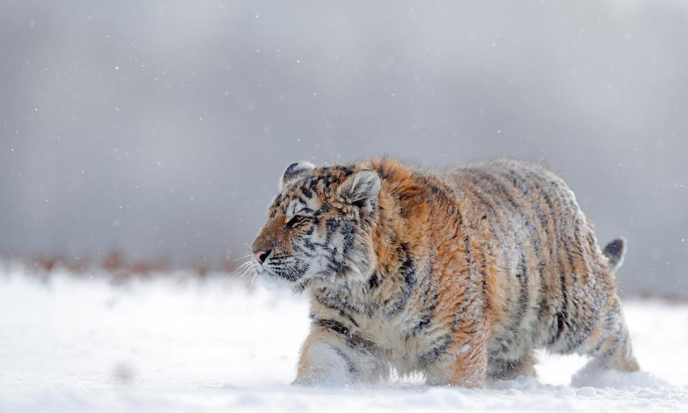 Amur tiger (Panthera tigris altaica) with thick coat in the snow, Russia