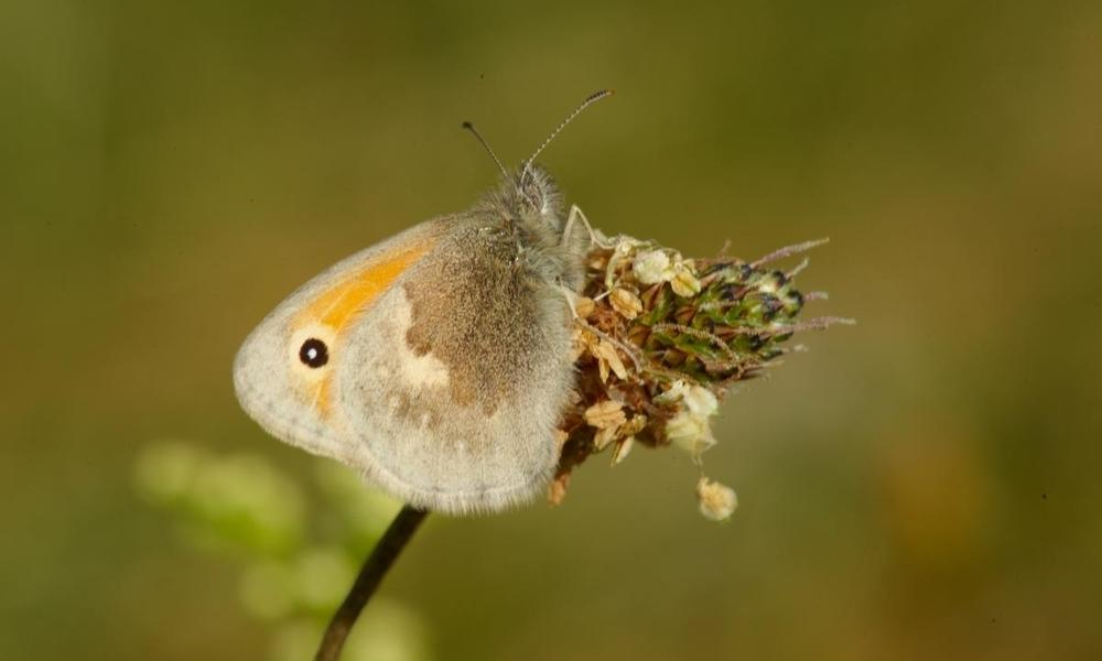 Small heath (Coenonympha pamphilus) resting on a ribwort plantain