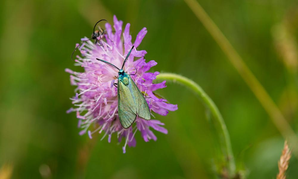 A green forester (Adscita statices)on a field scabious (Knautia arvensis).