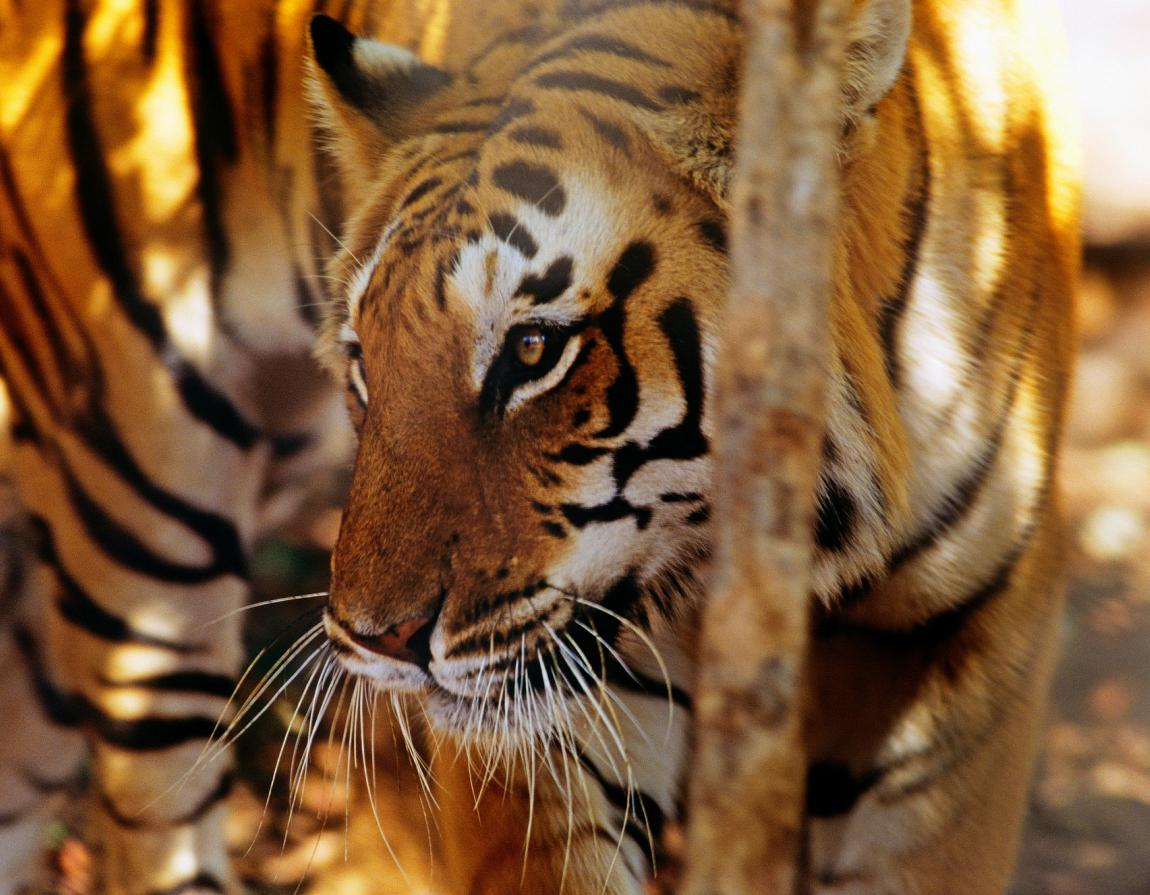Doubling wild tiger numbers   WWF