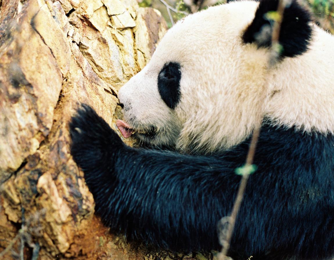 giant pandas wwf