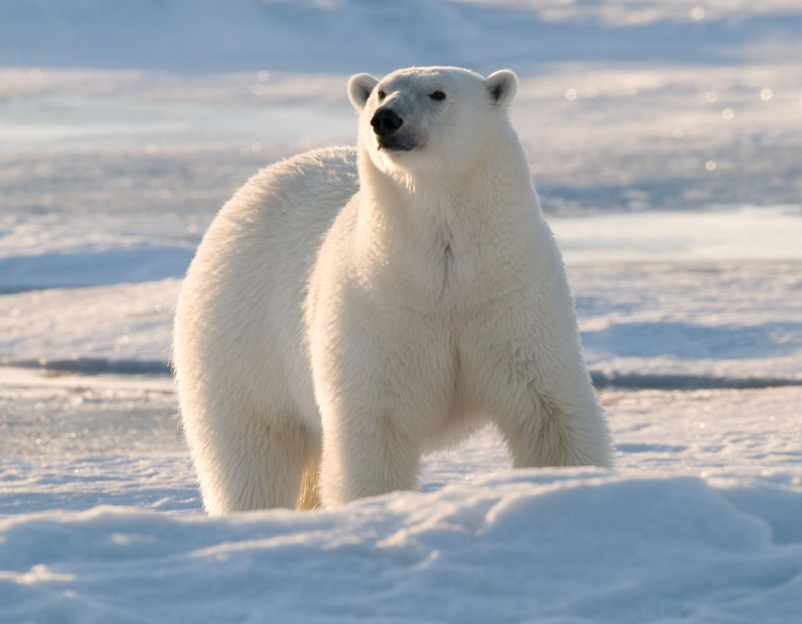 how do polar bears adapt to their environment