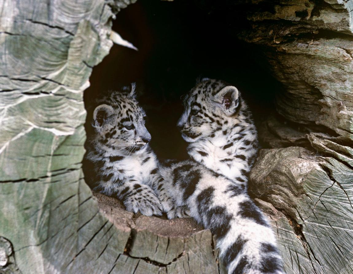 First Female Snow Leopard Collared In Nepal