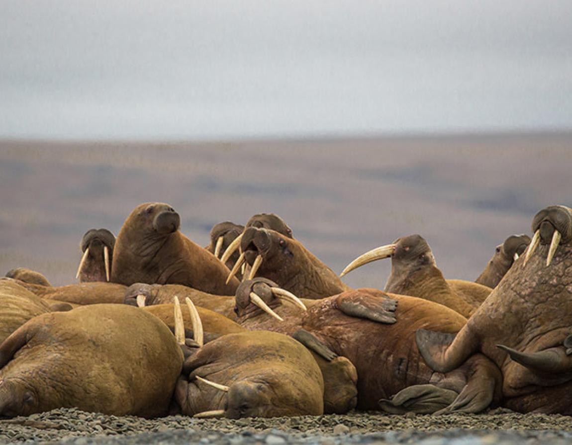 Our Planet: Behind the scenes with a one tonne walrus | WWF