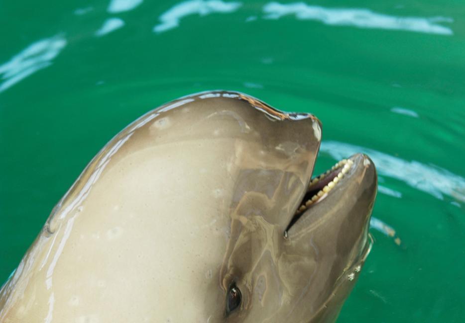 023dde6ff5ea Yangtze finless porpoise species