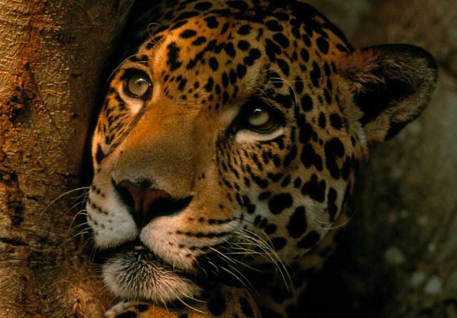 Jaguar The S Amazing Swimming Cat