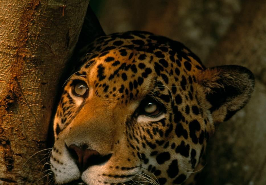 Endangered Species Study: Jaguars