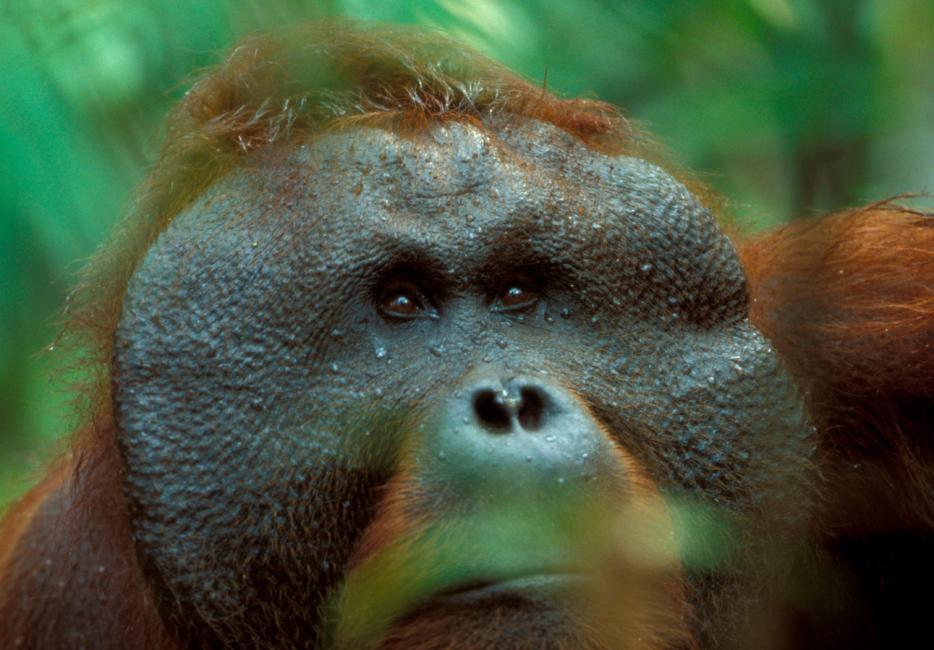 Orangutans | WWF