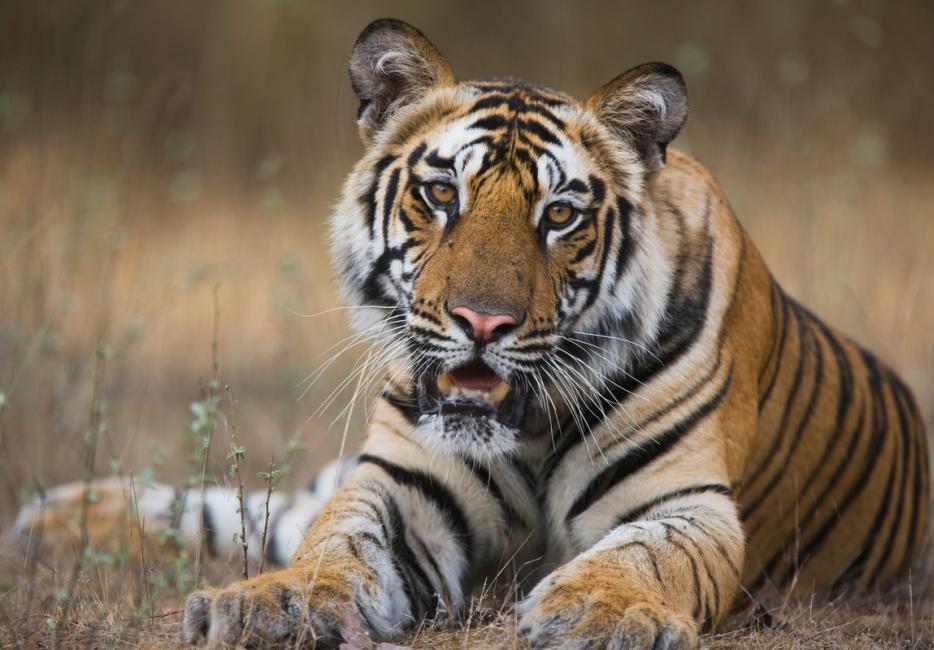 Tiger Wwf