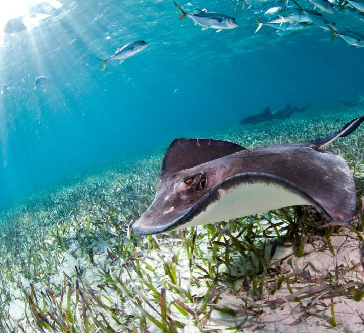 Sting ray in the Belize reef