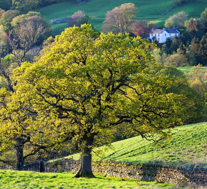 An Oak tree in Spring, Ambleside, Cumbria, UK.