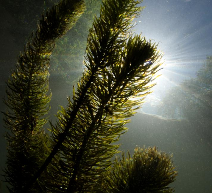 Underwater landscape showing aquatic plant life (Myriophyllum sp.) and the sunbeam through the clear water, River Itchen, Hampshire, UK.
