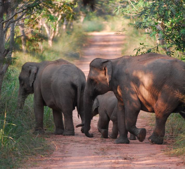 Wild asian elephants in Kui Buri National Park